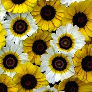 AN12006 GOLDIE Tricolor Chrysanthemum Seeds Chrysanthemum.
