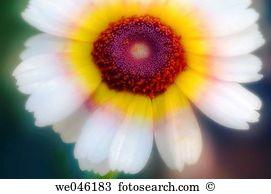 Chrysanthemum carinatum Stock Photo Images. 11 chrysanthemum.