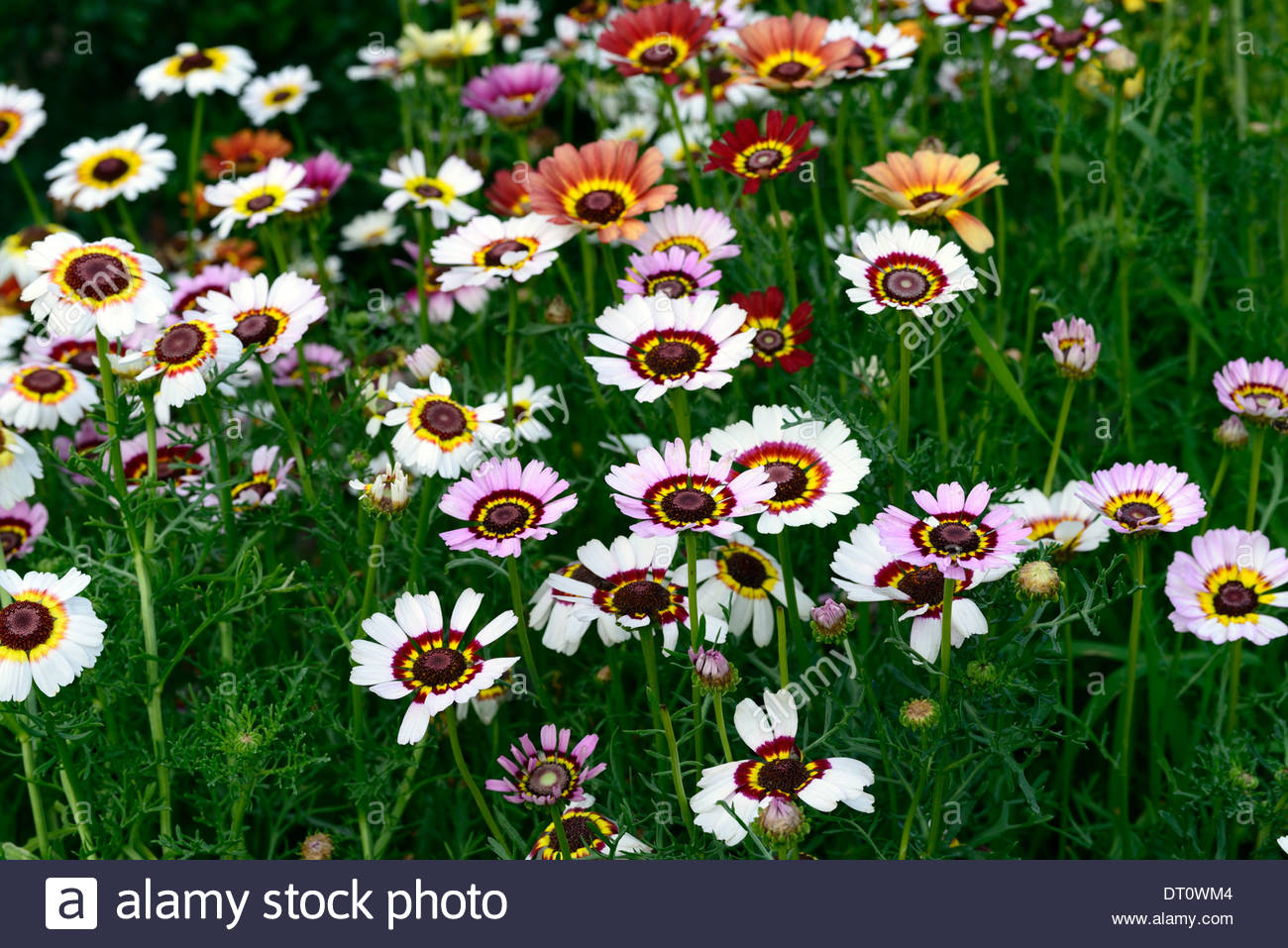 Painted Daisy Stock Photos & Painted Daisy Stock Images.