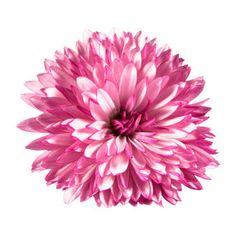 Cushion chrysanthemum.