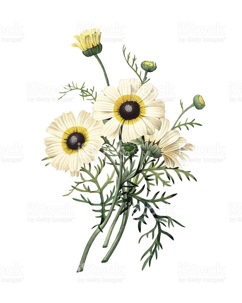 Chrysanthemum Carinatum Redoute Flower Illustrations stock vector.