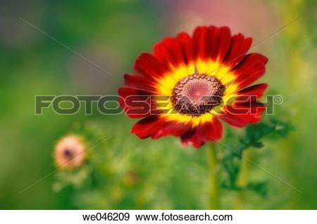 Stock Photograph of Chrysanthemum carinatum Summer Festival. June.