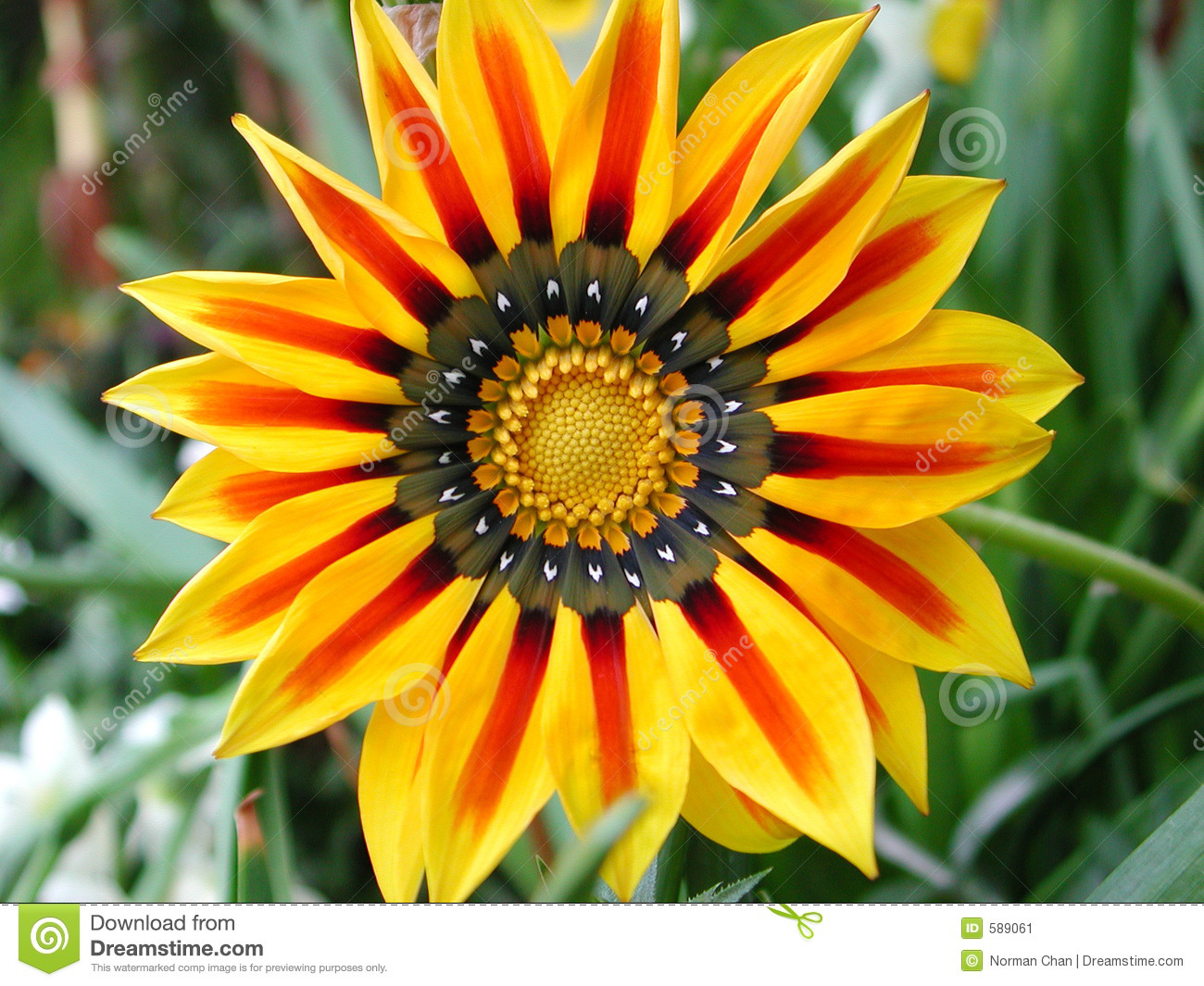 Chrysanthemum Carinatum Stock Image.
