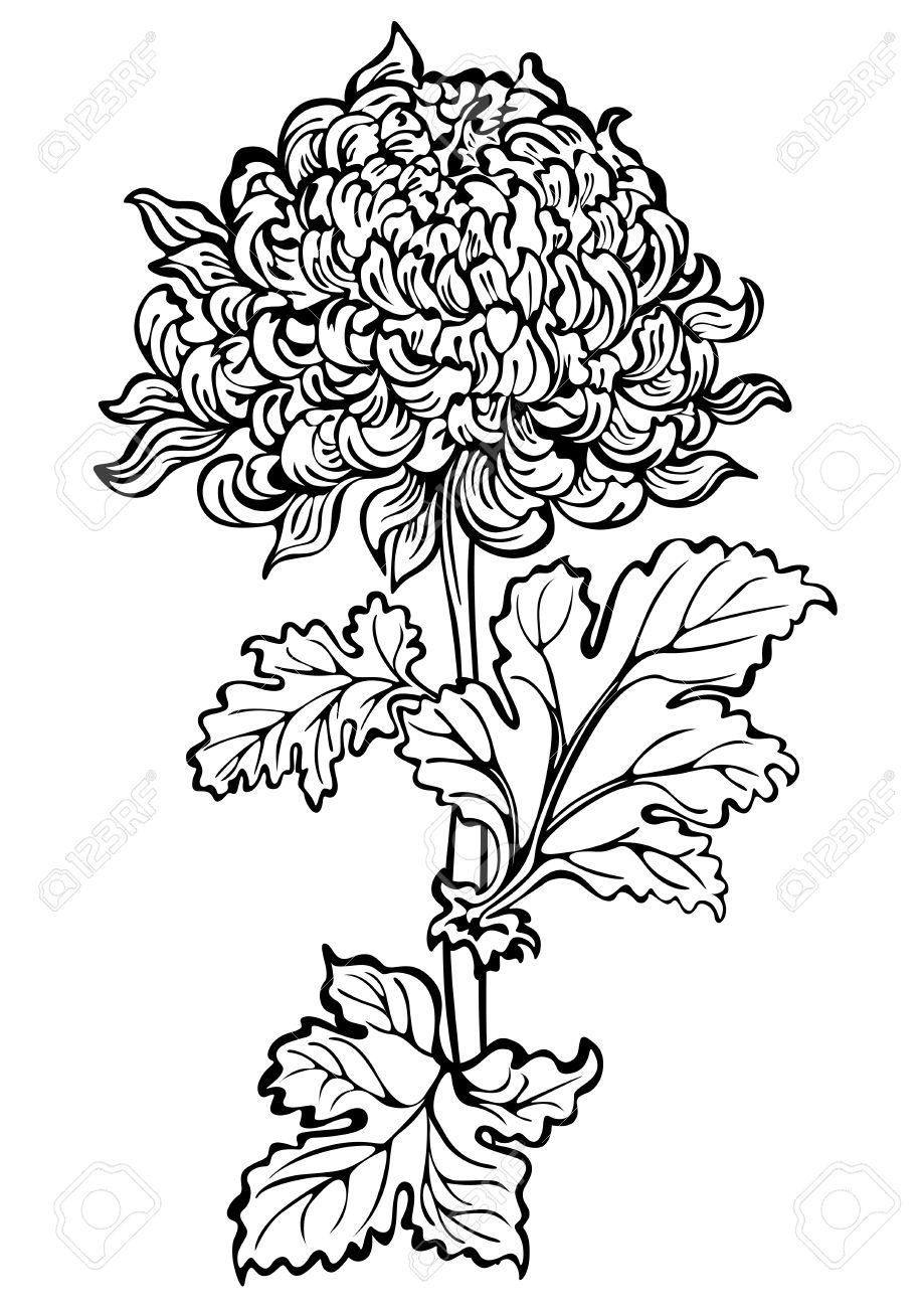 Chrysanthemum flower , black and white.