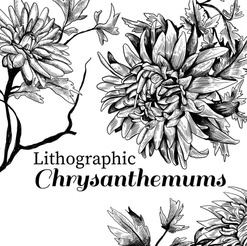 Lithographic chrysanthemum clip art, vintage style floral illustration,  classic chrysanthemums, ink drawing clip art, floral clipart.