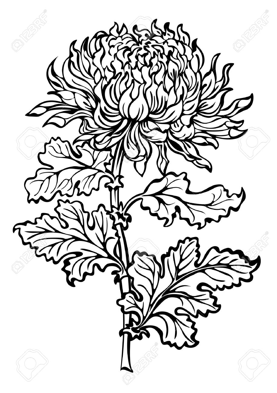 Flower chrysanthemum black and white.