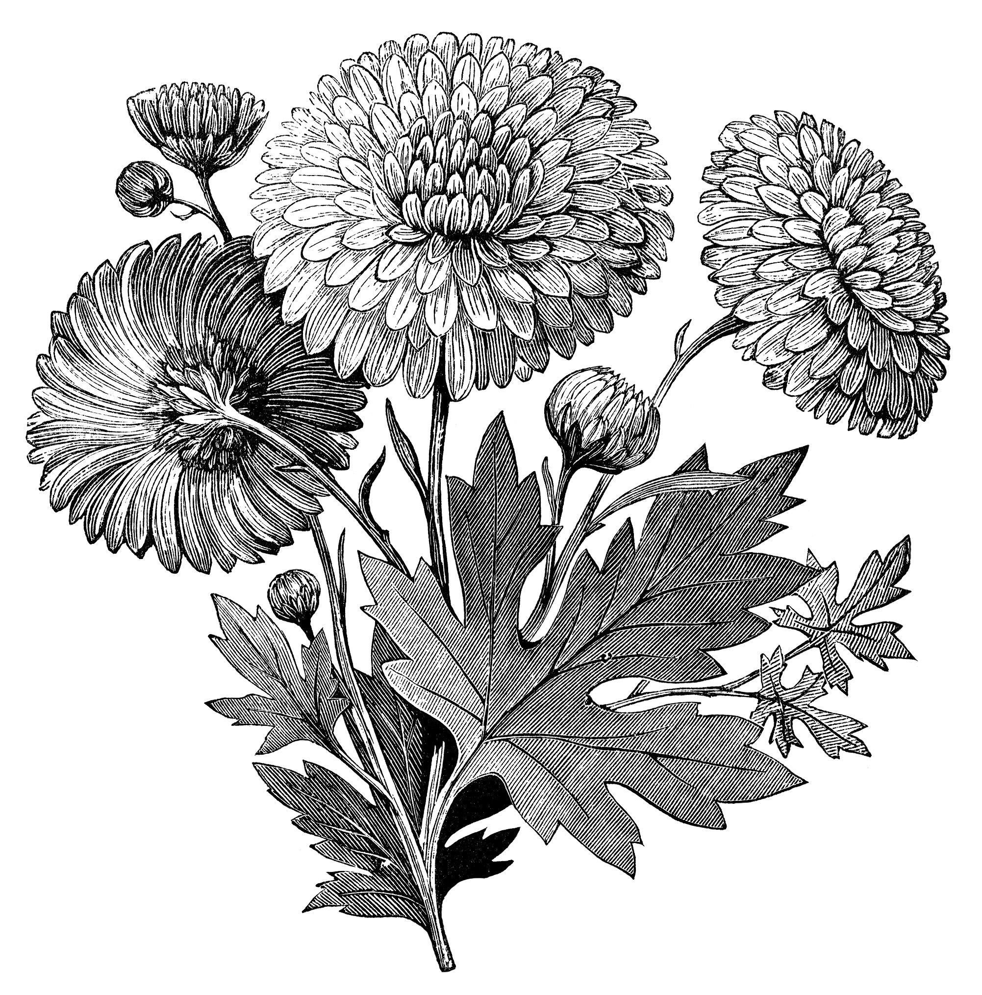 vintage flower clipart, early flowering chrysanthemum, chrysanthemum.