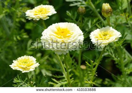 "chrysanthemum Coronarium"" Stock Photos, Royalty."
