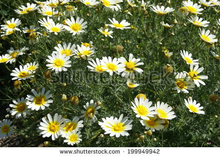 "chrysanthemum Coronarium"" Stock Photos, Royalty."