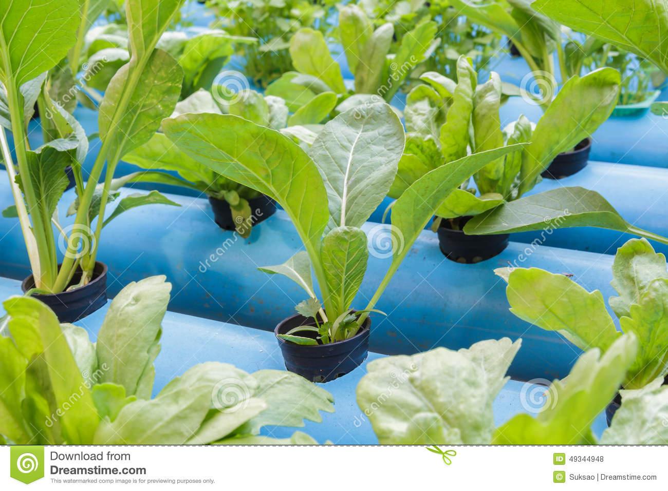 Chinese Cabbage And Chrysanthemum Coronarium Stock Photo.
