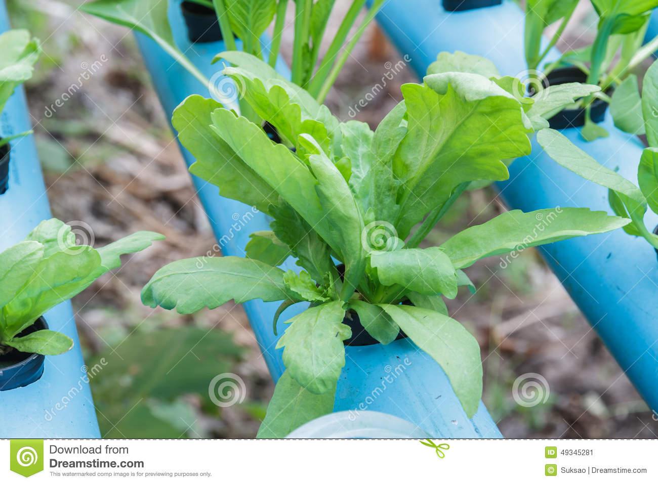 Chrysanthemum Coronarium Royalty Free Stock Photography.