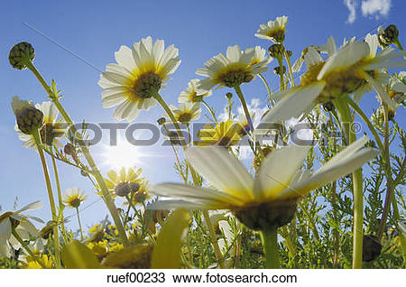 Stock Photo of Spain, Mallorca, Garland Chrysanthemum.