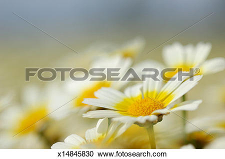 Stock Photography of Crown Daisy (Chrysanthemum coronarium), close.