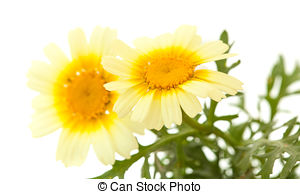 Stock Photography of Chrysanthemum coronarium Isolated on white.
