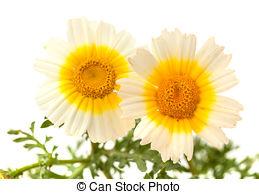 Stock Photography of Chrysanthemum coronarium Isolated on white.