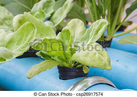 Picture of Chrysanthemum coronarium planting Water Hydroponics.