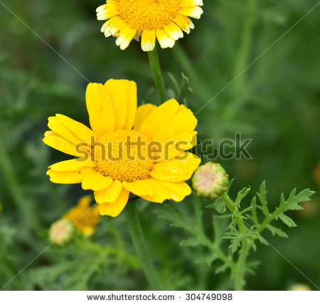 Garland Chrysanthemum Stock Images, Royalty.