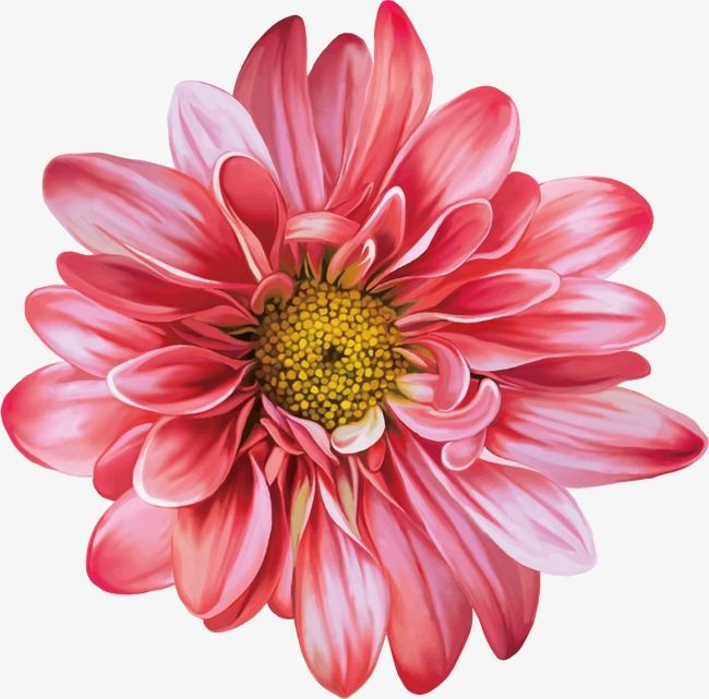 Chrysanthemum, Flower, Hand Painted PNG Transparent Clipart.