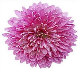 Free Chrysanthemum Cliparts, Download Free Clip Art, Free.