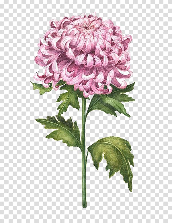 Pink chrysanthemum flower illustration, Chrysanthemum.