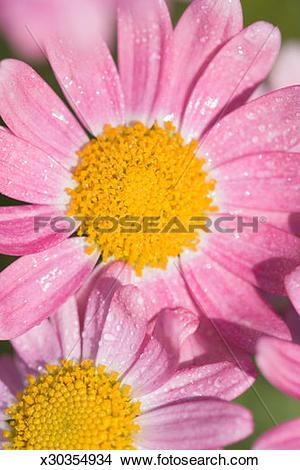 Stock Photo of Marguerite Daisy (Chrysanthemum frutescens), close.