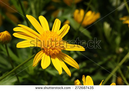 Argyranthemum Frutescens Stock Photos, Royalty.