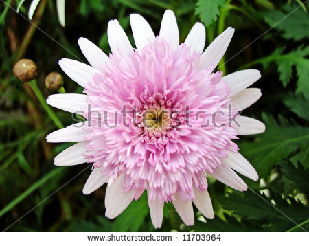 Chrysanthemum Frutescens Stock Photos, Images, & Pictures.