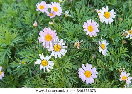 Argyranthemum Stock Photos, Royalty.
