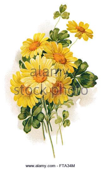 Marguerite Chrysanthemum Stock Photos & Marguerite Chrysanthemum.