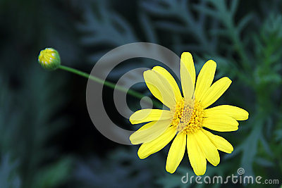 Yellow Garden Chrysanthemum (Argyranthemum Frutescens) Stock Photo.