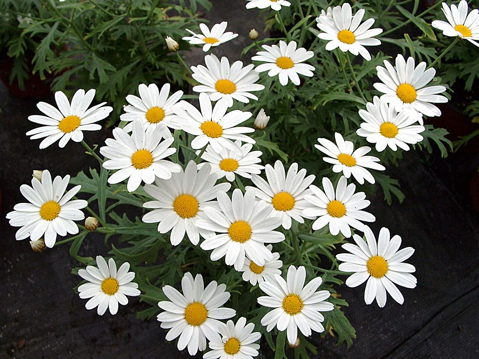 Chrysanthemum frutescens.