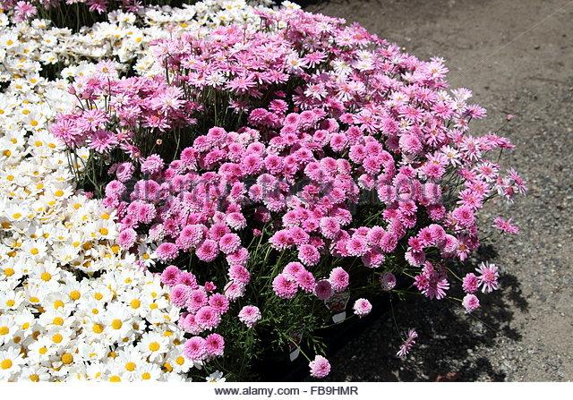 Yellow Marguerite Flowers Chrysanthemum Stock Photos & Yellow.