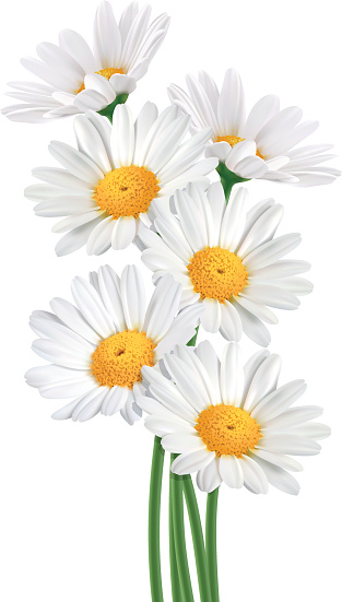 Chrysanthemum Frutescens Clip Art, Vector Images & Illustrations.