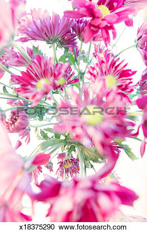 Stock Photography of Purple daisies (Chrysanthemum) (Dendranthema.
