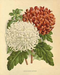 Botanical.
