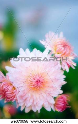Pictures of Pink Chrysanthemum Flowers. Dendranthema grandiflora.