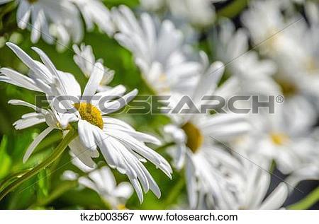 Picture of Dendranthema Grandiflorum tkzb003567.