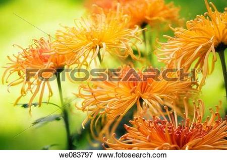 Picture of Orange Yellow Chrysanthemums in Full Bloom.
