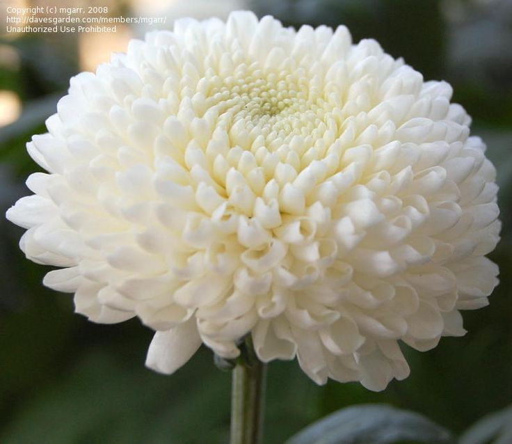 1000+ ideas about Chrysanthemum Flower Pictures on Pinterest.