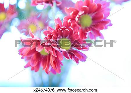 Stock Images of Purple daisies (Chrysanthemum) (Dendranthema.