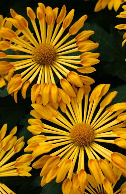 1000+ images about Chrysanthemums on Pinterest.