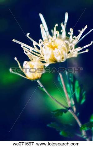 Picture of White Spider Chrysanthemum flower and Bud. Dendranthema.
