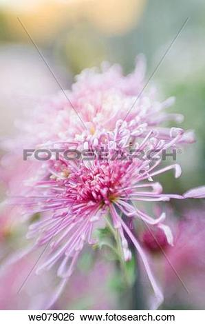 Stock Images of Spider Chrysanthemum hybrid. Dendranthema.