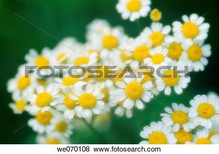 Pictures of Feverfew Daisies. Tanacetum parthenium we070108.
