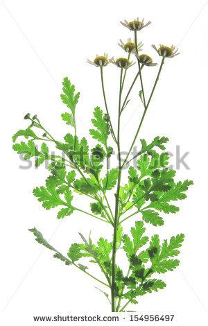 Chrysanthemum Parthenium Stock Photos, Images, & Pictures.