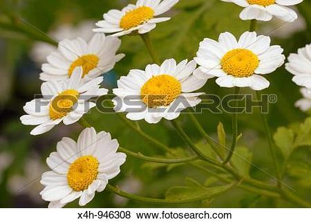 Pictures of Feverfew flowers Tanacetum parthenium chrysanthemum.