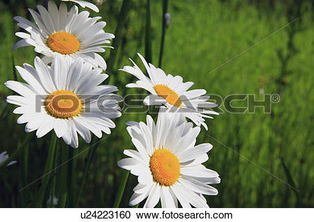 Stock Photography of Oxeye daisies (daisy family).