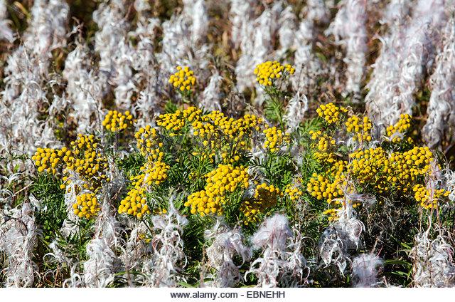 Golden Chrysanthemum Stock Photos & Golden Chrysanthemum Stock.