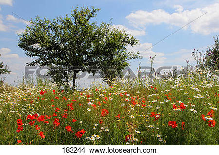 Stock Photo of Meadow with flowering Common Red Poppy (Papaver.