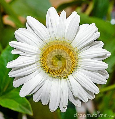 Chrysanthemum Leucanthemum, May Queen, Ox.
